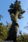 Alerce millénaire - PN Alerce Andino - Région Los Lagos - Chili