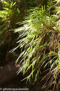 bambous - PN Huerquehue - Chili